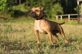 La Ville de Montréal publie la liste des caractéristiques morphologiques des chiens de type Pitbull