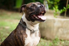 Avis important – Sursis pour environ 600 propriétaires de Pitbulls – Important Notice for Pitbull owners
